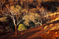Eucalyptus trees in evening sunlight, Karijini National Park, Western Australia by Sara Winter