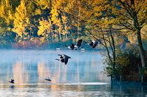 Flying Canada geese on a misty day by Andrew Michael