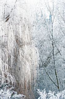 Frosty Willow by Andrew Michael