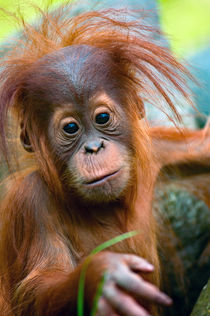 Baby Orangutan 2 von Andrew Michael