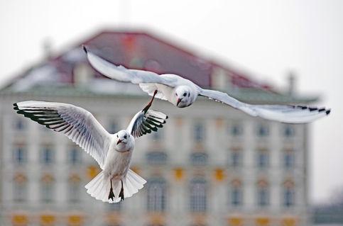Seagulls-at-nymphenburg-palaceele