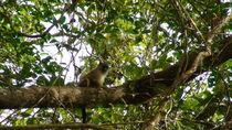 Black tailed marmoset - Mico by Klauss Milhorati Neves