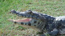 Brazilian Alligator - Pantanal  by Klauss Milhorati Neves