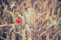Wild Poppy in the Wheat Field by Vicki Field