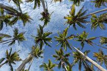 Cocos nucifera by Norbert Probst
