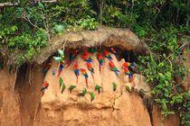 Amazonas-schwarm-papageien-4