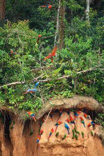 Papageien-Salzleckstelle im Amazonas Regenwald von mellieha