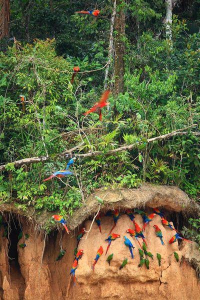 Amazonas-schwarm-papageien-5