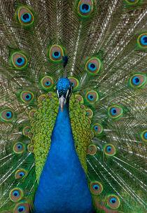Peacock-vertical