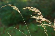 Gräser im Wind, grasses in the wind von Sabine Radtke