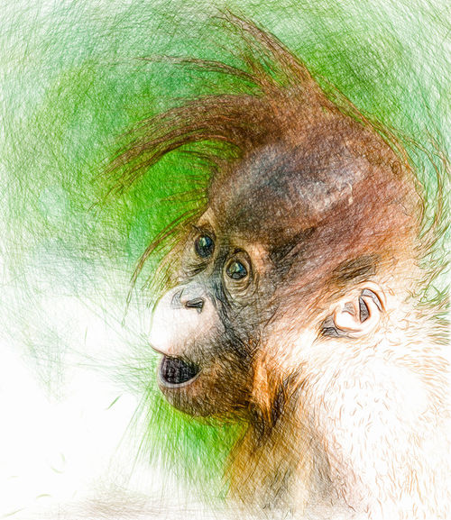 Surprised-baby-orangutandraw-1