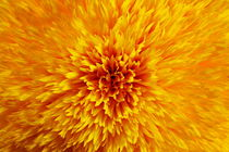sunflower yellow by fotoping