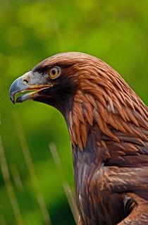 A-eagle-profileele