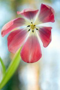Tulpe by Katja Bartz