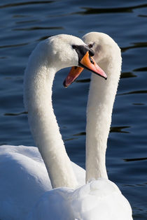 Courting Swans von David Pyatt