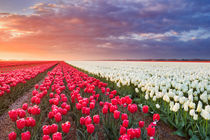 Rows of colourful tulips at sunrise in The Netherlands von Sara Winter