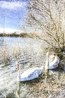 Snow Swans Art von David Pyatt