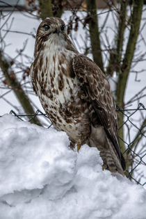 The first snow - Buzzard von Chris Berger