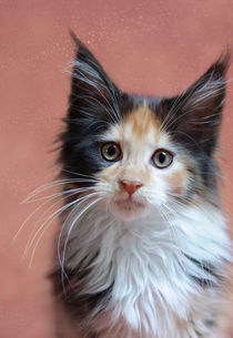 Maine Coon Kitten / 56 by Heidi Bollich