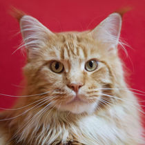 Maine Coon / 54 by Heidi Bollich
