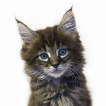 Maine Coon Kitten / 55 by Heidi Bollich