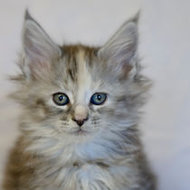 Maine Coon Kitten / 54 by Heidi Bollich
