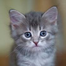 Sibirer Kitten / 1 von Heidi Bollich