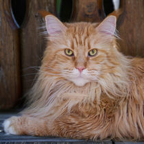 Maine Coon / 55 by Heidi Bollich