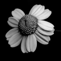 Black and White Daisy von Amber D Hathaway Photography