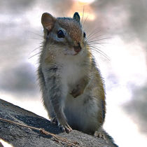 Up Close Chipmunk von Amber D Hathaway Photography