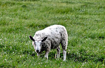 Sheep in the Field  by Amber D Hathaway Photography