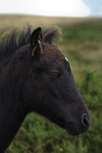 Black Dartmoor Pony by kevin wise