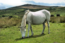 White Dartmoor Pony by kevin wise