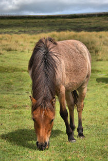 Brown Dartmoor Pony by kevin wise