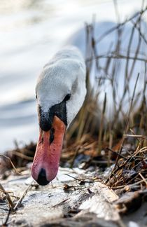 Swan by Katja Bartz
