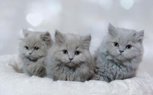 Dsc-1307-dot-t-blh-kittens1-01-16