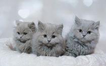 Britisch Langhaar Kittens / 1 by Heidi Bollich
