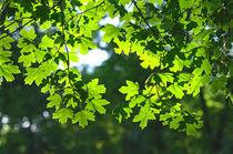 Green maple leaves backlight by Vladislav Romensky