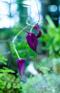 Orchid by Marina Dvinskykh
