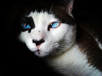 Siamese Katze von sigursson