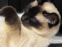 Siamese Cat by sigursson