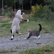 Siamese Cat fight by sigursson