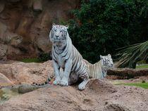 Zwei weiße Bengal Tiger von sigursson