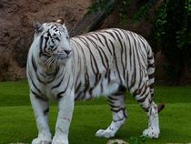 White-bengal-tiger-407026