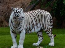 Weißer Tiger von sigursson