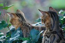 Bengal cat Sisters von sigursson