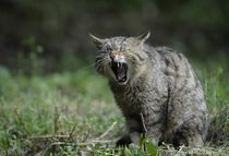 Wildcat good morning by sigursson