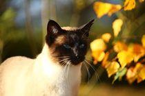 Siamesen Katze im Morgenlicht von sigursson