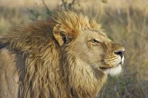 Afrikanischer Löwe von sigursson