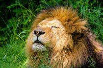 Löwe beim Sonnen von sigursson